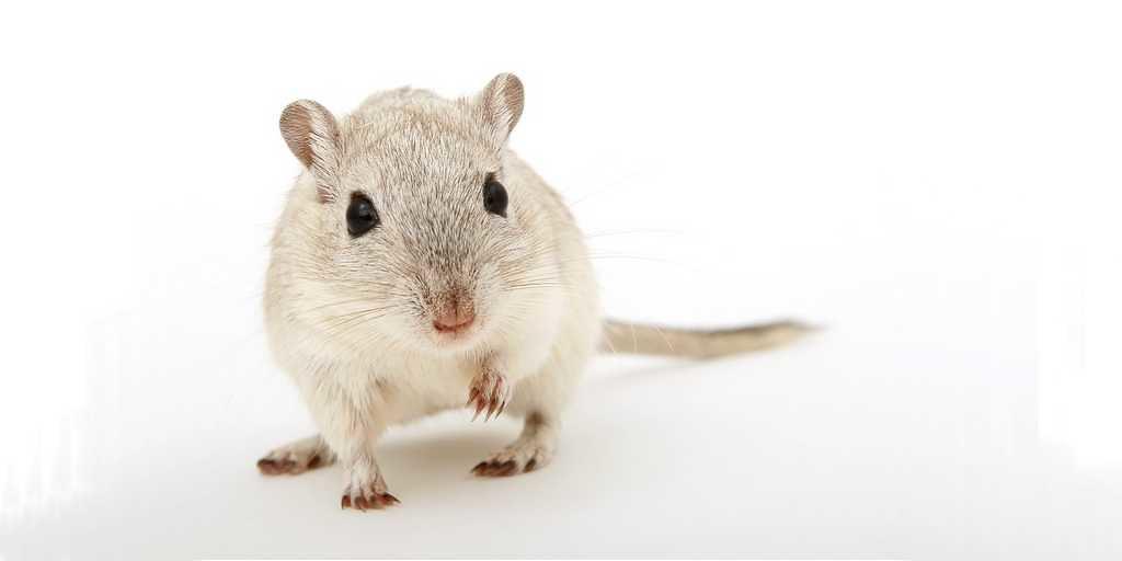 rat-moelle-épinière-impression-3D