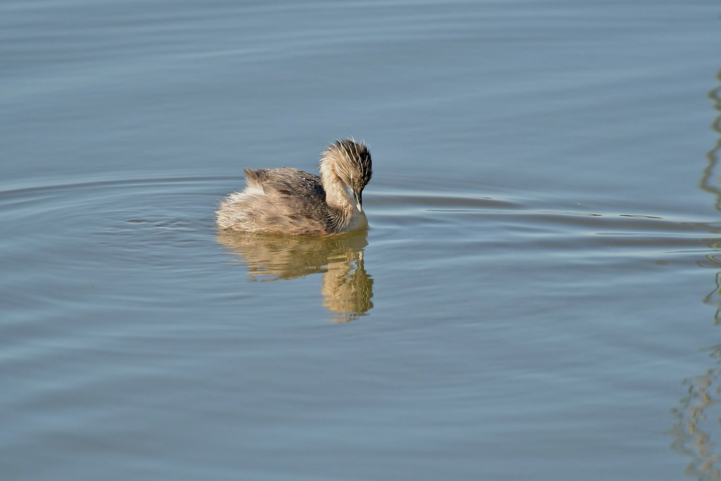 Hoary - headed Grebe ( Oh ! Look what's here )
