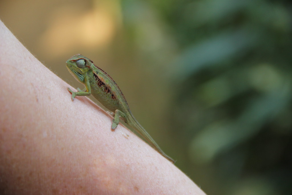 Two-week-old chameleon on my arm, Entebbe Reptile Village