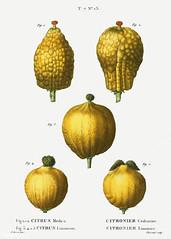 1, 2. Citron (Citrus medica) 3, 4, 5. Lemon (Citrus limonium) il