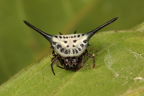 Juvenile Long-horned Orb-weaver Spider (Macracantha arcuata, Araneidae)