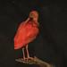 Shy scarlet ibis.