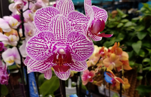 Ostentatious Orchid