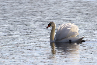 Mute Swan | by Paul Marfell