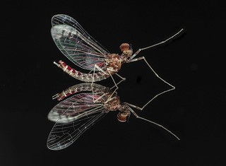 Mayfly male