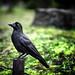 A Crow In Hibiya Park, Tokyo