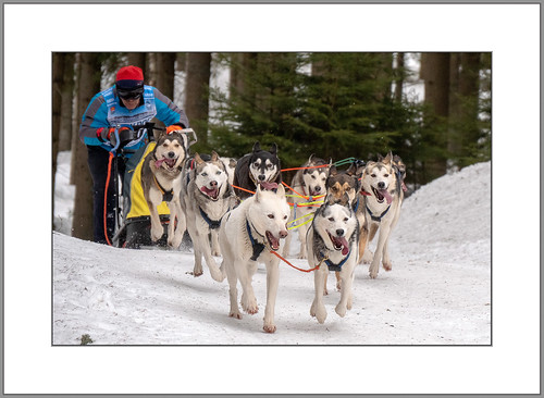 Schlittenhunde (sled dogs)
