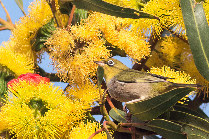 Silvereye in the blossoms