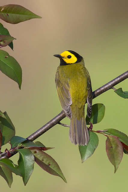 Hooded Warbler - Northern Ohio