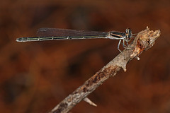 Damselfly, Solon Dixon Forestry Center, Andalusia, Alabama