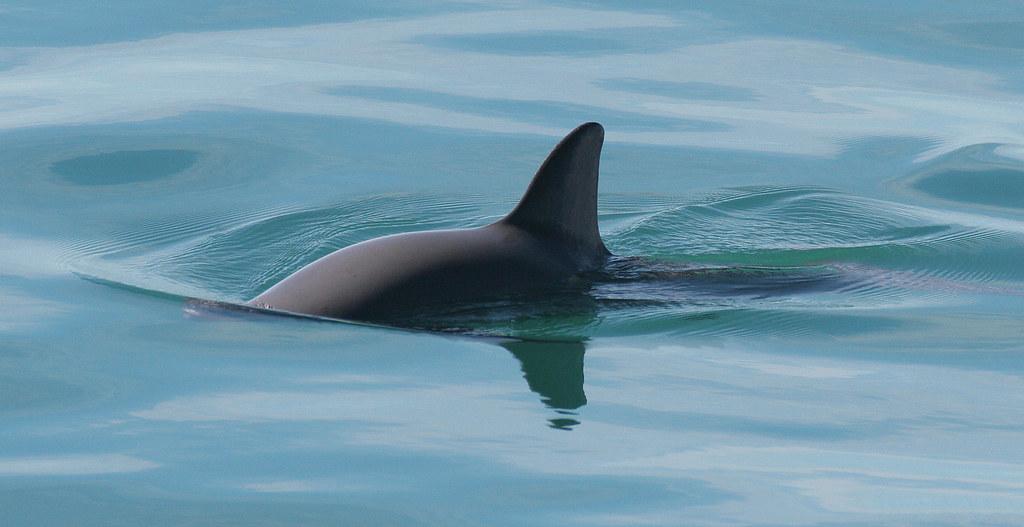小頭鼠海豚。Paula Olson/NOAA