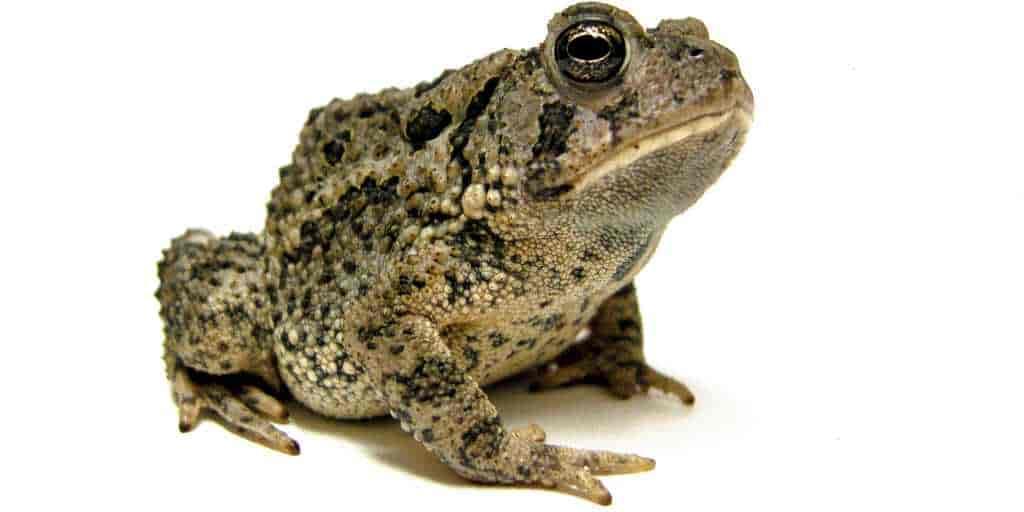 maladie-fongique-amphibiens-mortel