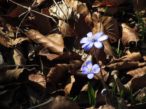 20110321 0208 375 Jakobus Blume blau