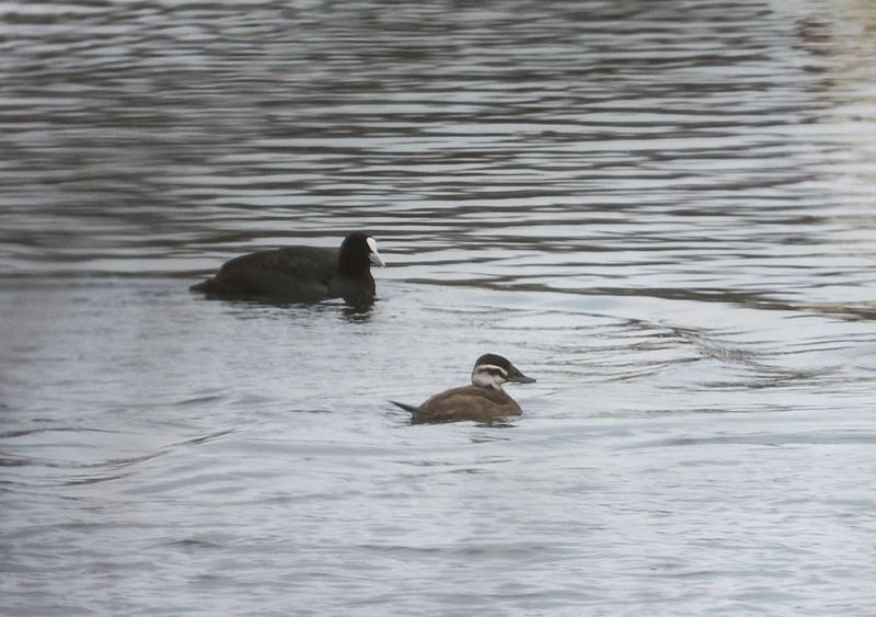 White-headed Duck, Roxton Lakes, 5th Jan 2019