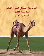 تفاصيل البرنامج السنوي لسباق الهجن بدولة قطر لموسم  ٢٠٢٠/٢٠١٩م