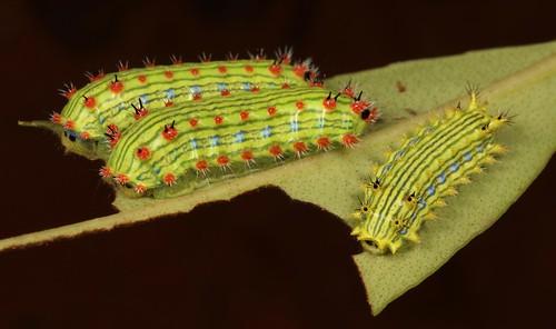 "Stinging Nettle Slug Caterpillars (Cup Moths, Parasa sp., Limacodidae) ""Triple Streak"""