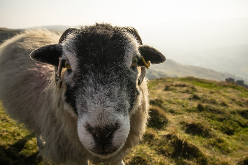 Mr Sheepy | by Manadh