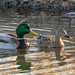 ducks_mallard_pair_c031919