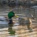 ducks_mallard_pair_c031919