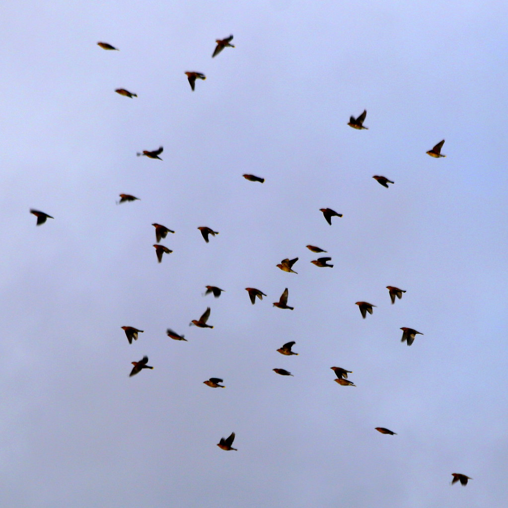 Flock on the Wing