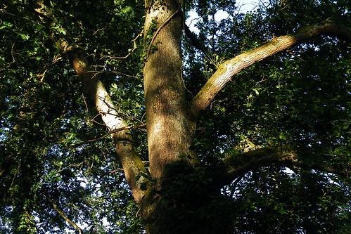20090528 061 1107 Jakobus Baum Licht Schatten