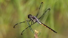 Bar-winged Skimmer (immature male)- Aripeka Sandhills Preserve