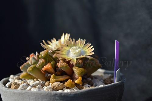 aDSC_2734 Titanopsis hugo-schlechteri チタノプシス ヒュゴシュレクテリ