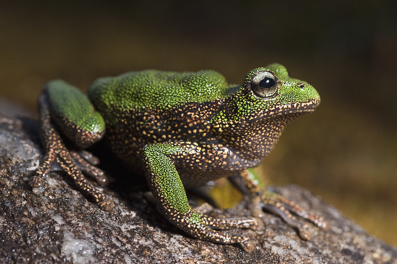 Gastrotheca turnerorum