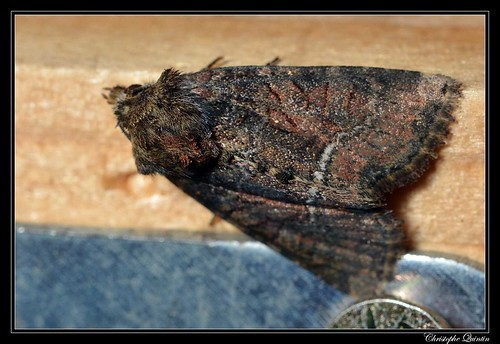 Oligia cf. latruncula