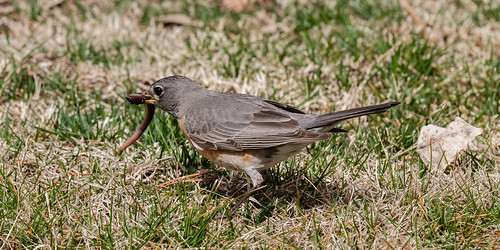 robin_with_worm-20190310-103
