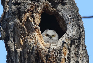 Great Horned Owlet  0255