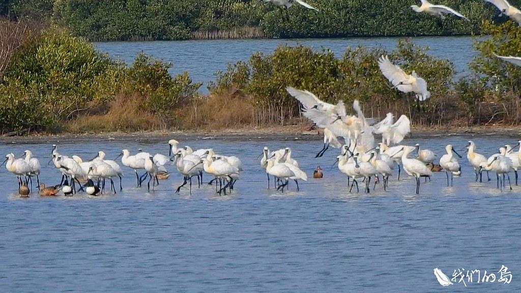 永安濕地近年成為黑面琵鷺的重要棲地。