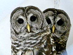 The Barred Owl Twins