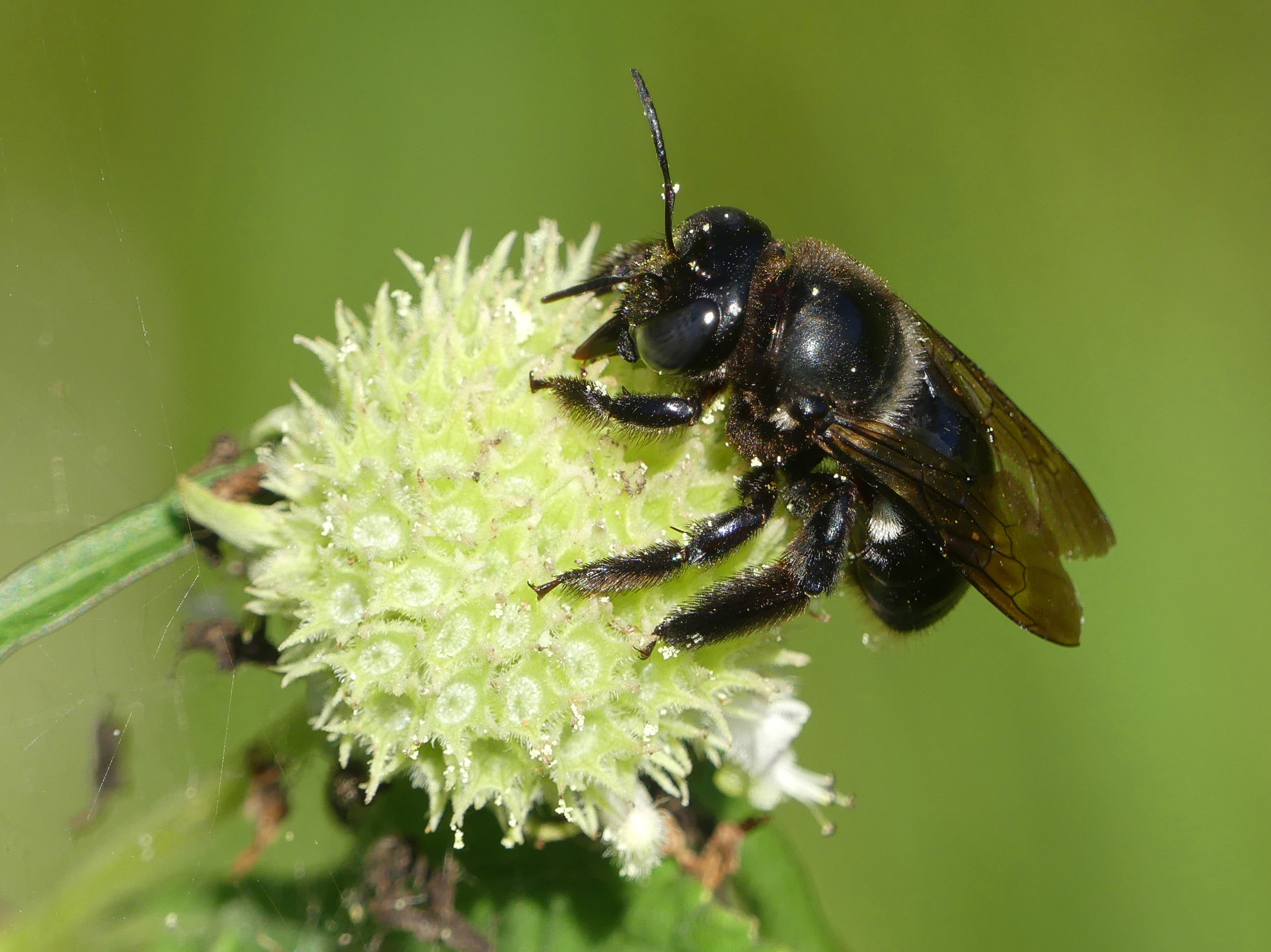 Southern Carpenter Bee (Xylocopa micans)