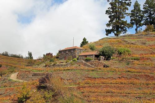 Automnal wineyard near Las Tricias