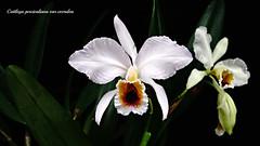 Cattleya percivaliana var. coerulea 作者 emmily1955