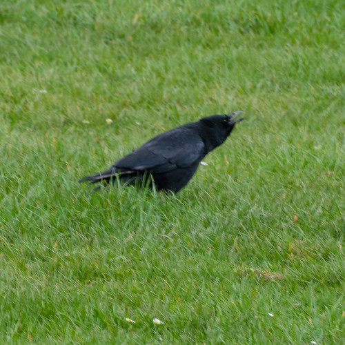 Carrion crow, cawing, Compton Park