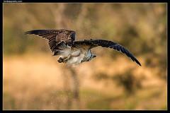 Eastern Osprey: Spin Dry