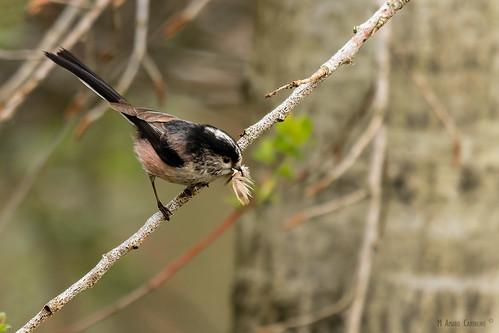 Chapim-rabilongo (Aegithalos caudatus)