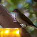 Spotted Honeyguide (24)