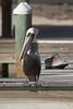 Brown Pelican by sr667