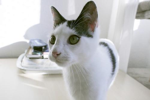 Morad, gatito blanco con toques negros muy juguetón nacido en Octubre´18, en adopción. Valencia. 33109604548_600be7c65a