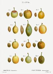 Common plum (Prunus domestica) illustration from Traité des Arb