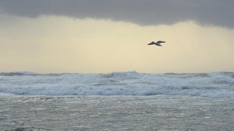 Seagull Чайка