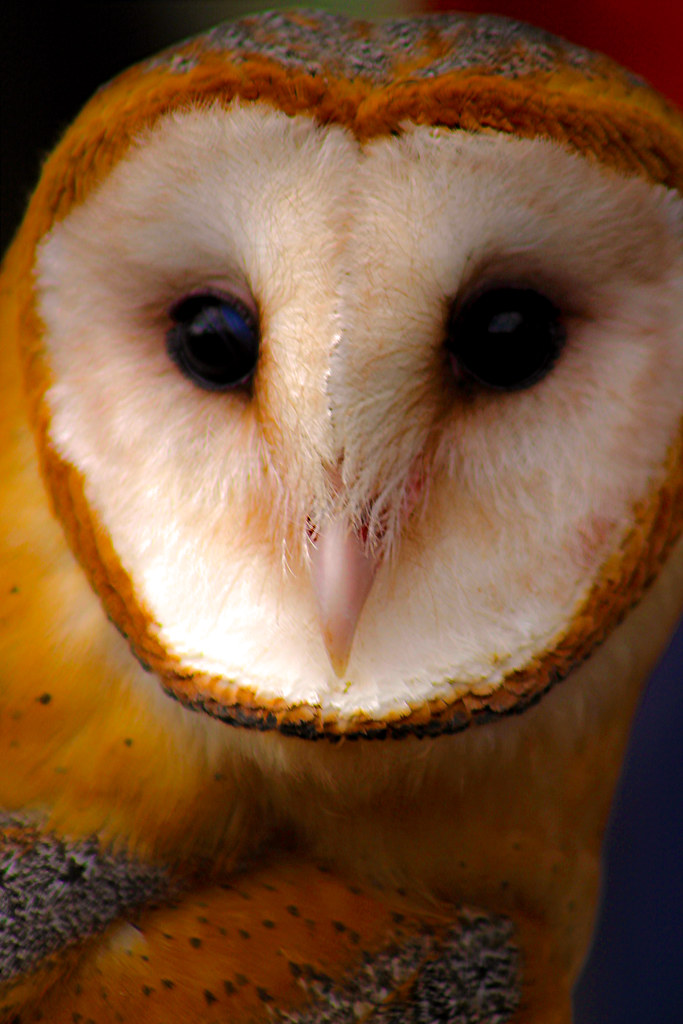 2019.02.16 Pints and Predators Barn Owl 6