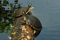 Two Turtles Sunning