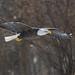 IMG_4755 american bald eagle