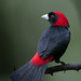 Crimson-collared Tanager by Greg Lavaty Photography