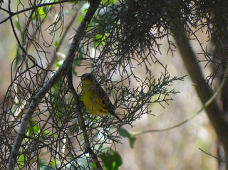 magnolia warbler | by Rick Wright, Victor Emanuel Nature Tours