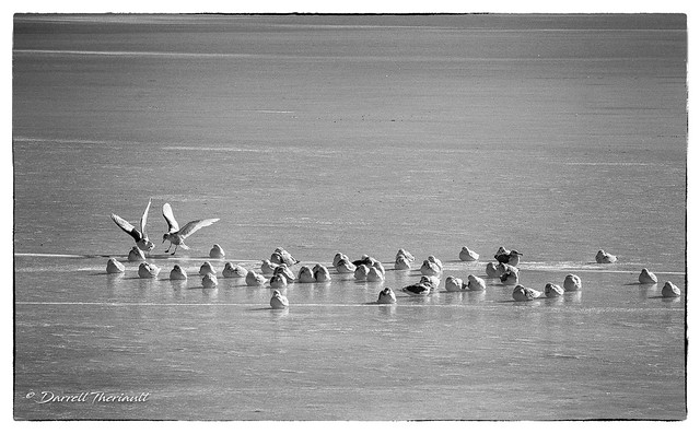 Gulls huddled for warmth on the ice.